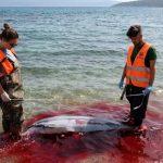 Το Αιγαίο βάφτηκε κόκκινο: Μαζικές οι δολοφονίες θαλάσσιων θηλαστικών